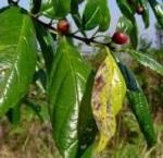 Gesho growing in Ethiopia